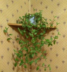 Комнатное растение традесканция