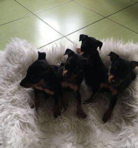 Прелестные щенята