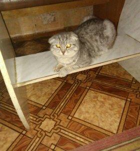 Продаю вислоухую кошку