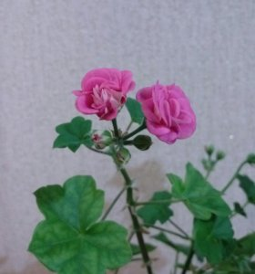 🌺Герань плющелистная розовая