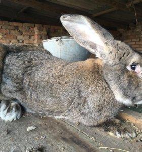 Кролик фландер