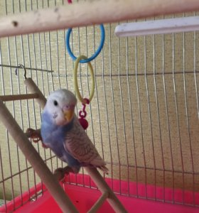 Волнистый попугай мальчик 50 дней