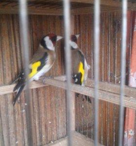 Птицы Щегол