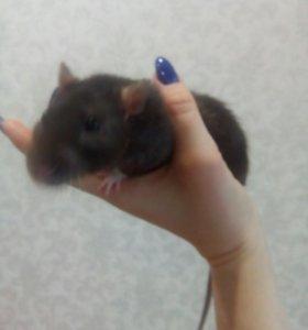 Крыса Шуша в добрые руки