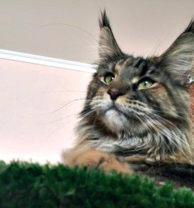 Кошечка мейн-кун ищет кота на вязку