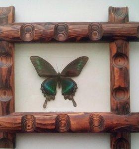 Бабочка male phoenix в деревянной рамке.
