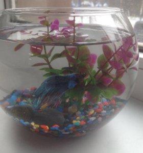 """Рыбка """"Петушок"""" с аквариумом"""