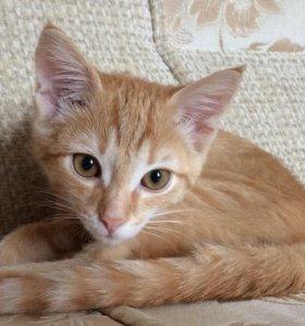 Рыжий котёнок, 3 месяца (девочка)