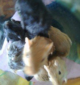 Мыши песчанки