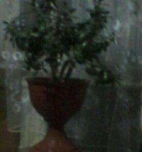 Денежное дерево цветок