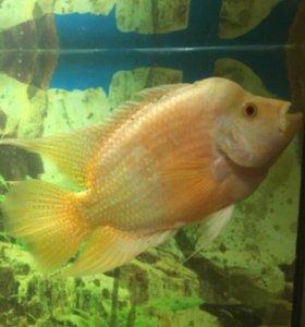 Цехлида губастая (самка) аквариумная рыбка 20 см