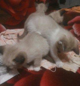 Сиамские кошки(Поинты).