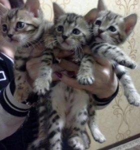Продаю бенгальских котят
