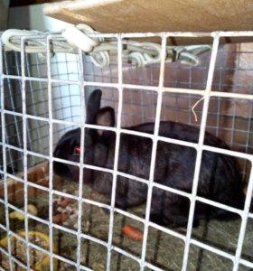 Кролик ручной карликовый