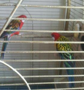 Попугаи Роззелла