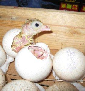 Вывод домашней птицы