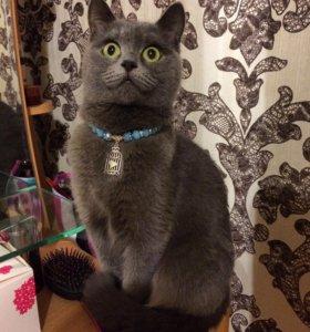Британская кошка ждёт кота для вязки
