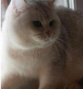 Британский племенной кот.