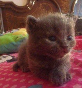 Продаю котят от вислоухой шотландки