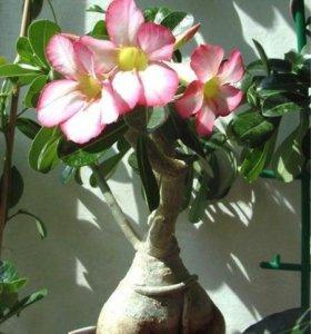 Адениум или роза пустыни