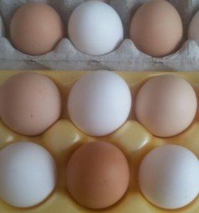 яйцо домашних мясояичных кур