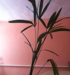 Пальма финиковая (саженцы)