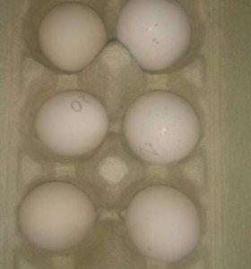 Инкубационное яйцо бентамки