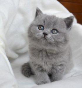 Британский котенок (резервирование)
