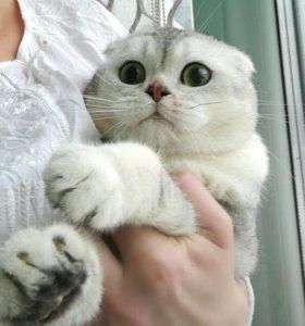 Вислоухий котик серебристая тиккированая шиншилла