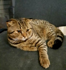 Кот шотландец на вязку