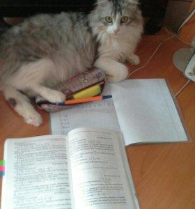 Котик для вашей кошечки порода Сибирский