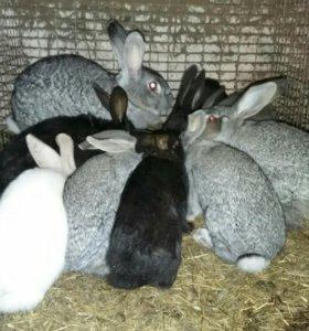 Крольчиха с Самцами и крольчатами 3 и 3.5 месяца