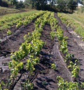 Продаю саженцы винограда