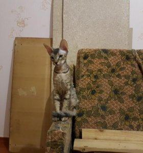 Котята браш донской сфинкс