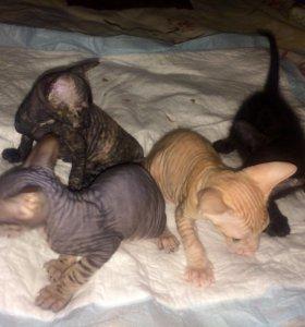 Котятки на продажу