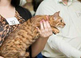 Кот и кошка Бенгалы