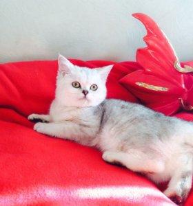 Питомник Британских кошек предлогает котят к прода