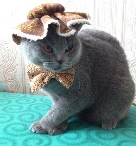 Вязка,шотландская кошечка ищет вислоухого красавца