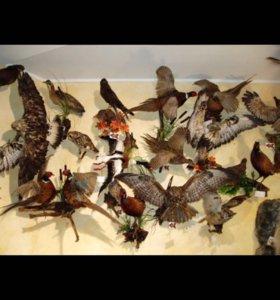 Чучела птиц