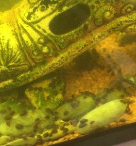Улитки в аквариум
