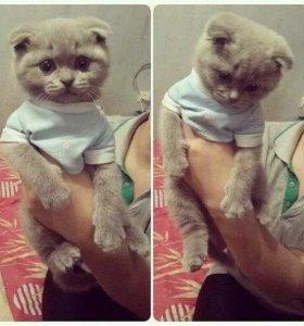 Возьму вислоухого котёнка