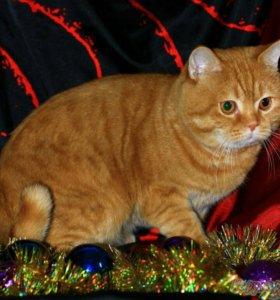 Шотландский котик приглашает на Вязку кошечек