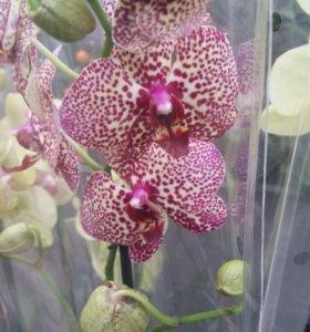 Орхидеи высокие красивые!!!