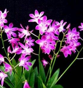 Орхидея Dendrobium Kingianum