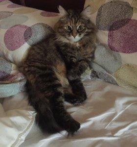 Кошка (стерилизована)