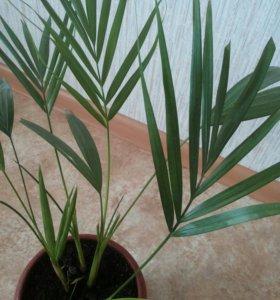 Комнатные цветы пальма Арека, замиокулькас