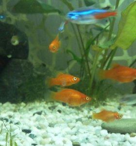 Продажа аквариумных рыбок живородок