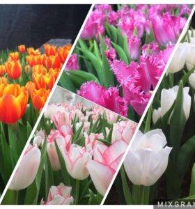 Тюльпаны оптом и в розницу