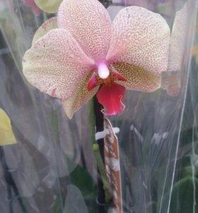 Орхидеи 25,26 февраля