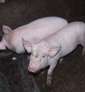Поросята и свинки